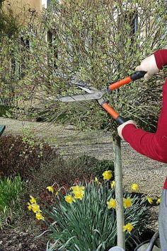 Saule Crevette en arbre | Green Fingers | Pinterest | Gardens, Shrub ...
