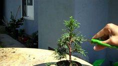 How to create bonsai: Miniature Bonsai Shimpaku Juniper formal upright.mp4