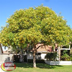 $499.00 TIPU Tipuana tipu Prized for it's almost ridiculous growth rate, homeowners and commercial landscapers are finding the Tipu tree quite useful in many landscape designs.