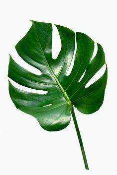 Philodendron Monstera, Monstera Deliciosa, Big Leaf Plants, Plant Leaves, Plant Illustration, Botanical Illustration, Tropical Leaves, Tropical Plants, Plant Wallpaper