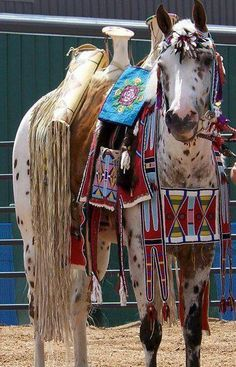 """This is Cappy the Appy- his owner, artist Angela Swedberg, not only bred and raised him from birth, but the beadwork is hers as well- no imported crap on this horse!  Everything is authentic, Google """"Cappy the Appy"""" to learn more.  Please do not share this pic without proper credit.  Thanks!"""