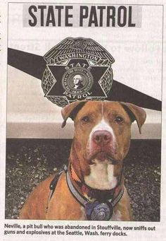 Neville, a rescued pit bull, now a police dog