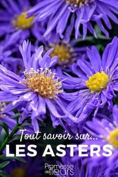 Asters : planter, cultiver et entretenir Discover everything you need to know about Asters! Jungle Flowers, Garden Stepping Stones, Gardening Magazines, Small Backyard Landscaping, Garden Care, Autumn Garden, Plantation, Plant Care, Horticulture