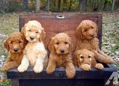 Just in time of the holidays!!! Our F2b puppies are adorable and almost ready to go to their new homes!! We have 4 girls and 1 boy available that are F2b ( mom is an F1b goldendoodle and dad is an F1 goldendoodle) . This is the 3rd litter with these parents and won't last long!! Bella brought 11 healthy and beautiful puppies into the world on Sept 15th, 2012. We expect them to be approx 45 to 55 lbs and classify them as medium size Goldendoodles. We have red to light apricot color availab...