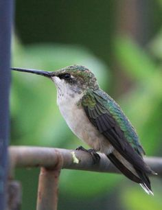 Ruby throated hummingbird resting on arbor, Virginia