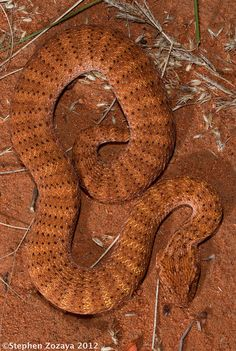 Desert Death Adder - Acanthophis pyrrhus Acanthophis pyrrhus (Elapidae) is avenomous adder native to Australia.As the species name suggests, pyrrhus means 'flame-colored', this snake has a bright reddish-brown coloration.Although venom of these snakes is highly neurotoxic, Death Adder envenomations are a rare occurrence in Australia. References: [1] - [2] - [3] Photo credit: ©Stephen Zozaya | Locality: near Port Hedland, Western Australia (2012)