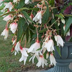 Begonia boliviensis Bossa Nova® Pure White Long bloom time. No deadheading. Low maintenance and watering