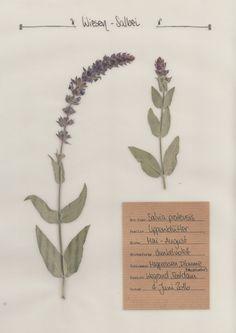 Der Wiesen-Salbei. Ein ausführliches Pflanzenportrait im digitalen Herbarium.