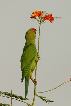 Rose-ringed Parakeet | The Northern India Bird Network