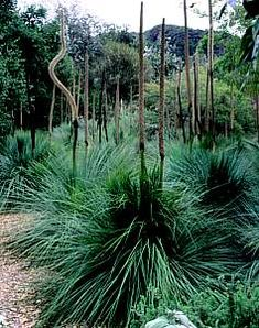 Xanthorrhoea preissii in San Marcos Growers This plant can become almost a tree . - Our Rooftop Garden Informations About Xanthorrhoea preissii in San Marcos Growers This plant can become almost a t Australian Native Flowers, Australian Garden, Garden Trees, Garden Plants, Drought Tolerant Shrubs, Plant Fungus, Rooftop Garden, Ornamental Grasses, Back Gardens