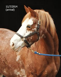 Shamika is an 11 year old Paint/Draft cross mare. She stands at about 15.2 hands tall and is in good weight.