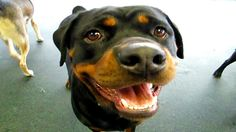 10 Funniest Rottweiler Videos