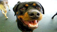 10 Funniest Rottweiler Videos