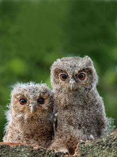 Bébés hiboux ~ Baby owls
