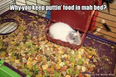 This is so true! Like why do I even need to buy a food bowl anymore because there just going to take all the food out of it! Funny Rats, Funny Hamsters, Cute Rats, Funny Animal Memes, Funny Animals, Cute Animals, Les Rats, Dumbo Rat, Rat Toys