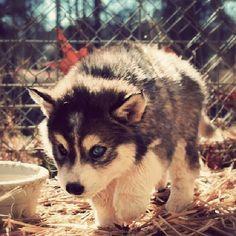 Pomeranian Siberian Husky mix! Pomsky