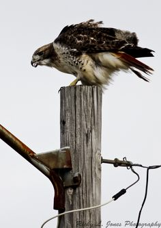 Red-Tailed Hawk  (C) Copyright Ricky L.Jones 1995-2012 All rights reserved.