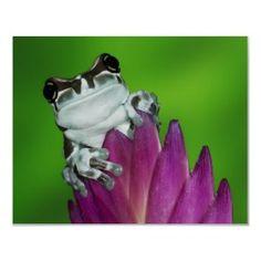 Amazon Milk Frog, beautiful little animal. :)