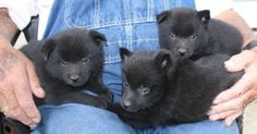 My Schipperkes group of pup siblings Baby Animals Pictures, Cute Animals, All Dogs, Best Dogs, Schipperke Puppies, Holiday Pictures, Free Photo Gallery, Shiba Inu, Just In Case