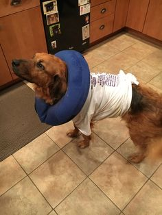 My dog Kodi recovering from a surgery we didn't like the cone so we found a better replacement http://ift.tt/2sNGU3T