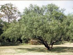 Prosopis glandulosa. Honey mesquite. Thorns on branches. Fern-like foliage. Tough native tree. Great for wildlife & butterflies. Seeds are sweet and can be ground into flour. Smaller than Velvet Mesquite. Good firewood. Full sun/part shade.