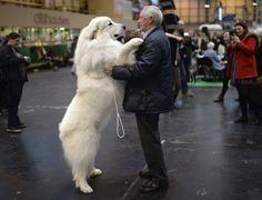 Criador brinca com seu cão da raça pastor dos pirineus, aguarda sua participação no primeiro dia do Crufts Dog Show, no Centro Nacional de Exposições em Birmingham, na Inglaterra (Reino Unido)