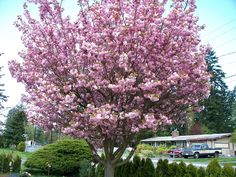 The Japanese Flowering Cherry Tree is one of the most beautiful spring flowering trees. Get ready to grow this beautiful Japanese Flowering Cherry tree with the lowest priced Red Alder Tree Seeds for Sale. Spring Flowering Trees, Flowering Cherry Tree, Cherry Blossom Tree, Blossom Flower, Blossom Trees, Bonsai, Japanese Garden Plants, Alder Tree, Spring Wallpaper