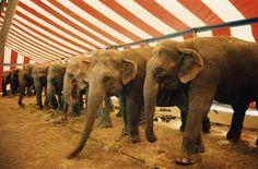 Saddened Elephants at Garden Bros. Circus