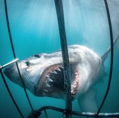 Great whiteshark