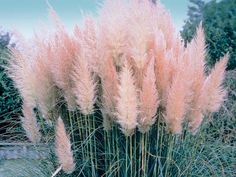 Pink white Pampas grass seed, Cortaderia Sellona, ​​fast growing ornamental grass seed, Pampas grass seed, perennial flower seeds - All For Garden Flowers Perennials, Planting Flowers, Perennial Grasses, Grass Seed, Ornamental Grasses, Flower Seeds, Garden Landscaping, Luxury Landscaping, Landscaping Company