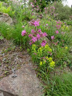 Die Pechnelke (Silene viscaria) im sonnig-trockenem Alpinum mit Vielfarbiger Wolfsmilch und Spinnweb-Hauswurz.