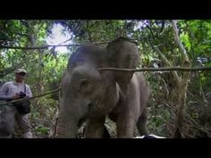 The Race to Save Borneo's Pygmy Elephant (Nature Documentary) Save Animals, Palm Oil, Endangered Species, Borneo, Documentary, Elephants, Wildlife, Ivory