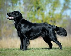 Flat-Coated Retriever | Origin: UK