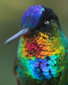 rainbow starfrontlet