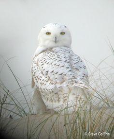 Beautiful Owl on Assateague Island VA