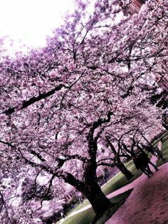 UW Cherry Blossoms | Spring 2014 (Photo by Janae Davis)