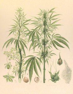 American Hemp (Cannabis sativa) - The Pemberton Collection - Botanical Illustrations © CUMNH