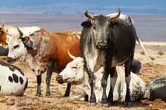 nguni cattle pictures - Google Search Zebu Cattle, Raising Cattle, Cow Art, Cows, Tanzania, Farm Animals, Animal Pictures, Chevy, African