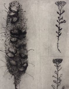 """Trudy Rice """"Banksia's"""" Solar plate etching Size/Date Unknown Botanical Drawings, Botanical Art, Photo Dream, Flower Silhouette, Printing Ink, Illustration Art, Illustrations, Printmaking, Plum Chutney"""