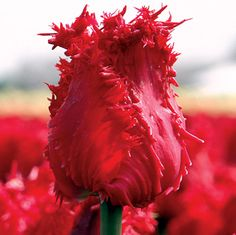 Tulipa 'Barbados':   One of the most fragrant tulips in the garden, Barbados is full of surprises. The blooms begin solid green, their beautifully fringed edges tightly furled. Then, as they open, they turn a rich shade of crimson!