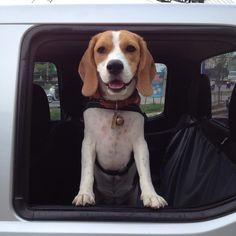 Cutie the beagle