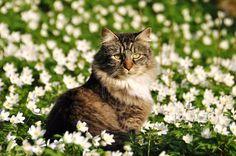 "<a href=""//www.shutterstock.com/pic.mhtml?id=177871622"">Norwegian Forest Cat sitting in a flower field</a> by Shutterstock.com"
