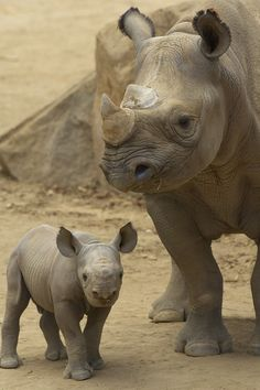 Rhino calf & mother By Official San Diego Zoo. Oooo my goshhh a baby rhino! Nature Animals, Zoo Animals, Animals And Pets, Cute Animals, Wild Animals, Beautiful Creatures, Animals Beautiful, Save The Rhino, Baby Rhino