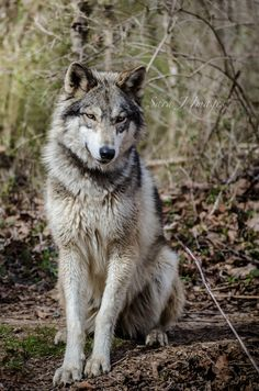 Stop Killing Wolves ! Beautiful Wolves, Beautiful Dogs, Animals Beautiful, Wild Animals Photography, Wolf Photography, Wolf Spirit, My Spirit Animal, Wolf Poses, Cutest Animals