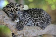 Cute Baby Leopard Resting On Tree Branch