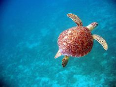 Marine Sea Turtle