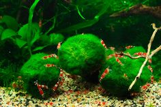 Marimo Balls + red crystal shrimp   Flickr - Photo Sharing!