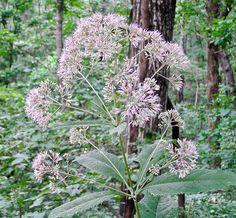 Joe Pye Weed - Eupatorium purpureum