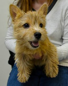 Norwich Terrier. Puppy Play Group in New York City at Andrea Arden Dog Training. #puppy #puppies #puppyplay #puppyplaygroups #puppytraining #NY #NYC #newyork #newyorkcity #dogtraining #dogtrainers #puppysocialization #socialization