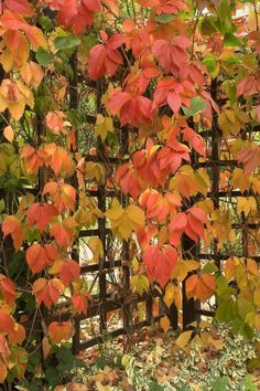 This is Virginia Creeper...and we  have it growing on half of our house...it's a monster to keep from making us disappear...but it's beautiful in the fall.  We live in Utah and there's not a lot of foliage.  So when we moved here from NH we let it grow...we look less like a desert.
